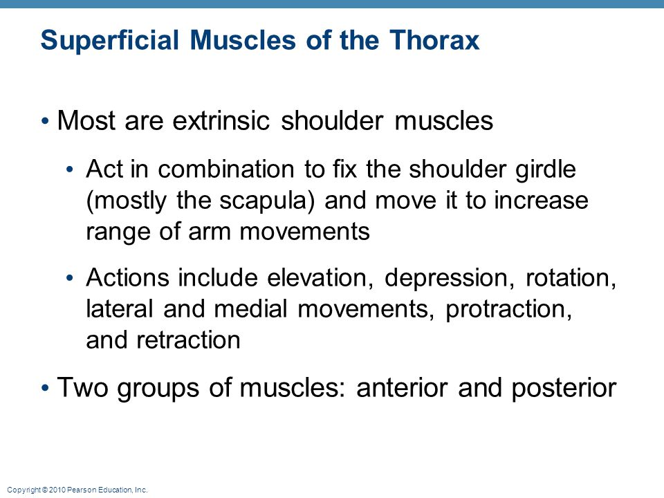 Superficial Muscles of the Thorax