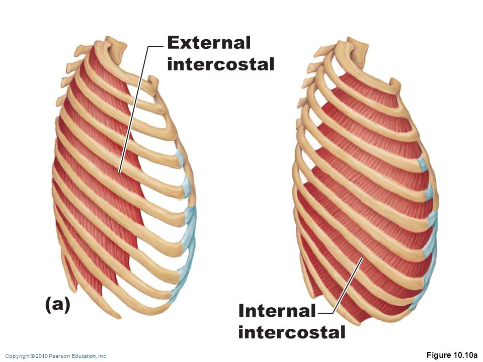 External intercostal (a) Internal intercostal Figure 10.10a