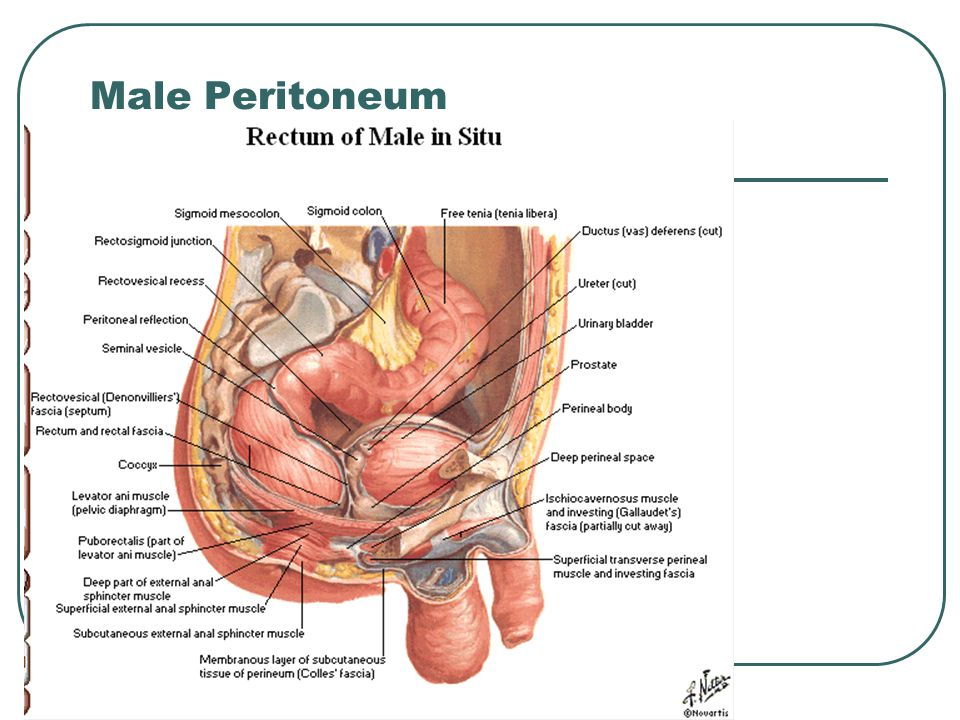 Outstanding Perineal Body Anatomy Crest - Human Anatomy Images ...