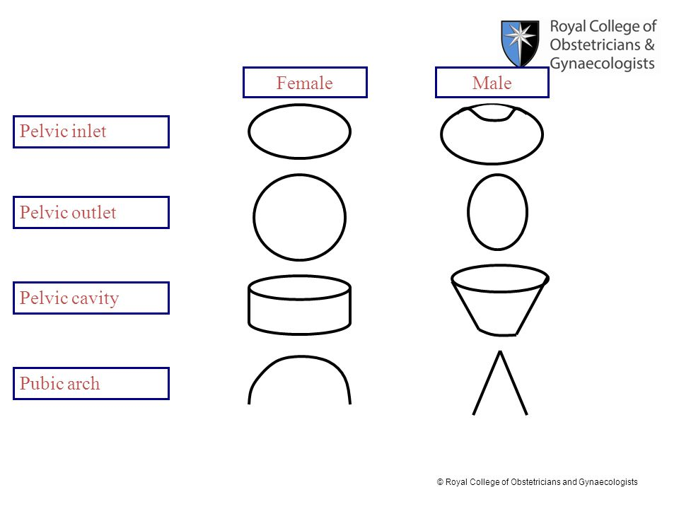 Anatomy Of The Female Pelvis Ppt Video Online Download. 53 Female Male Pelvic Inlet Outlet Cavity Pubic. Wiring. Male Pelvic Outlet Diagram At Scoala.co