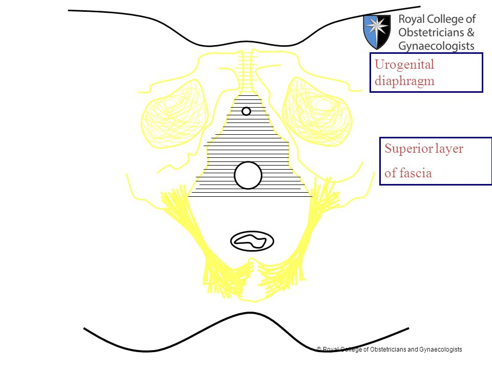 Urogenital diaphragm Superior layer of fascia