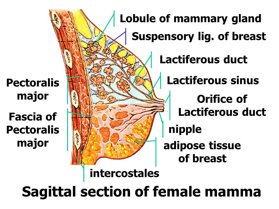 Sagittal section of female mamma
