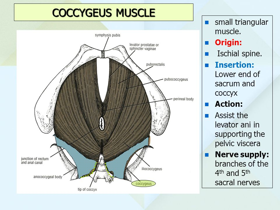 COCCYGEUS MUSCLE small triangular muscle. Origin: Ischial spine.