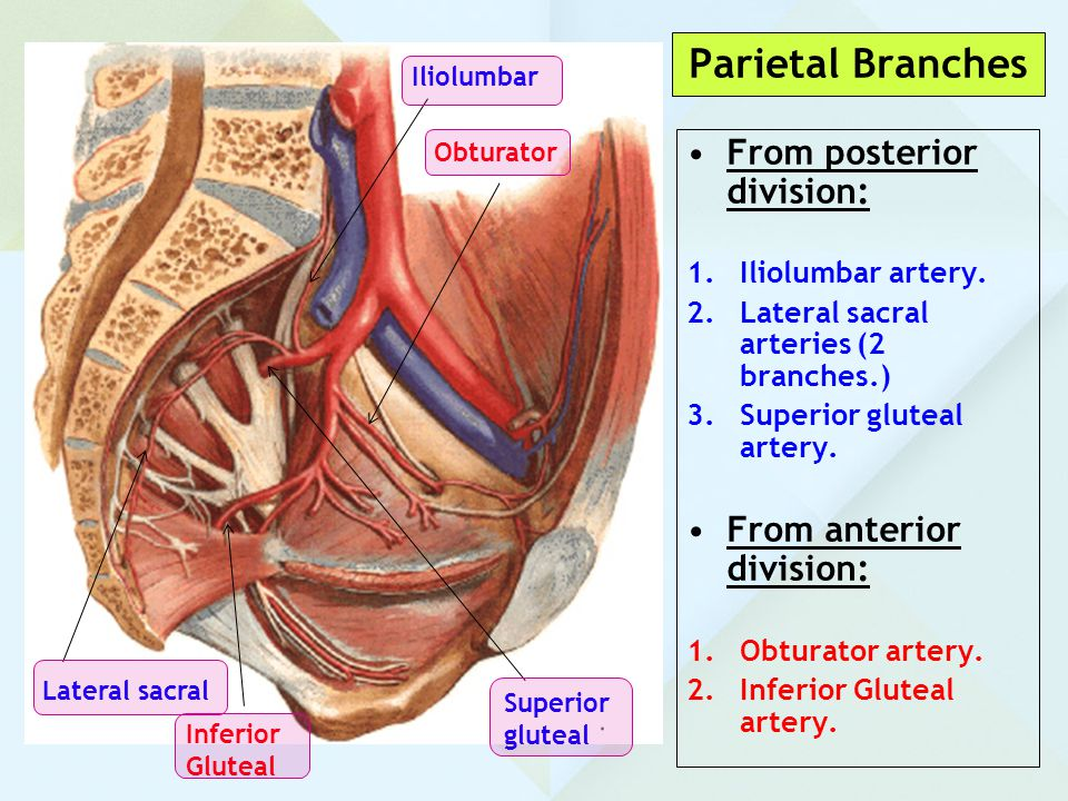 Parietal Branches From posterior division: From anterior division: