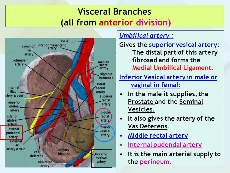 Visceral Branches (all from anterior division)
