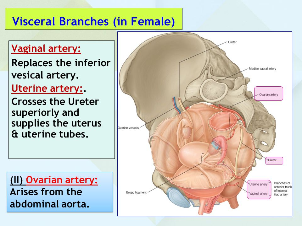 Visceral Branches (in Female)