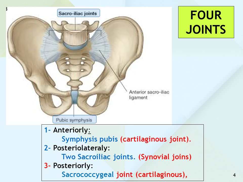 FOUR JOINTS 1- Anteriorly: Symphysis pubis (cartilaginous joint).