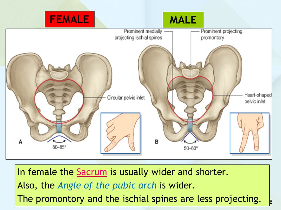 FEMALE MALE In female the Sacrum is usually wider and shorter.