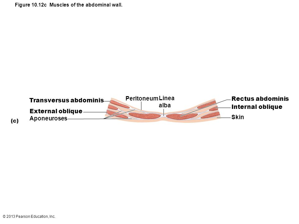 Figure 10.12c Muscles of the abdominal wall.