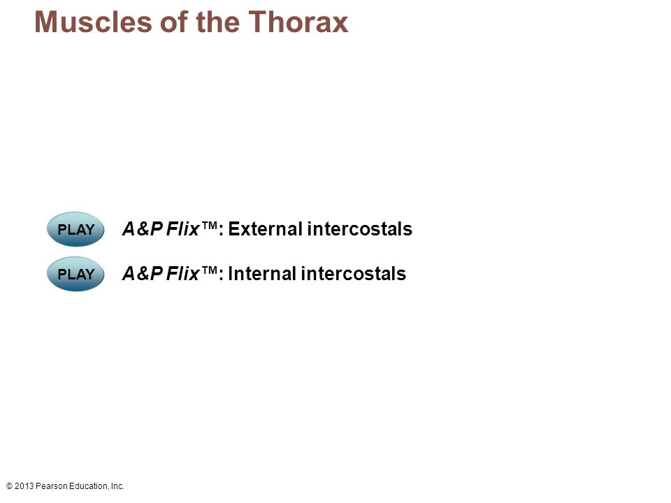 Muscles of the Thorax A&P Flix™: External intercostals