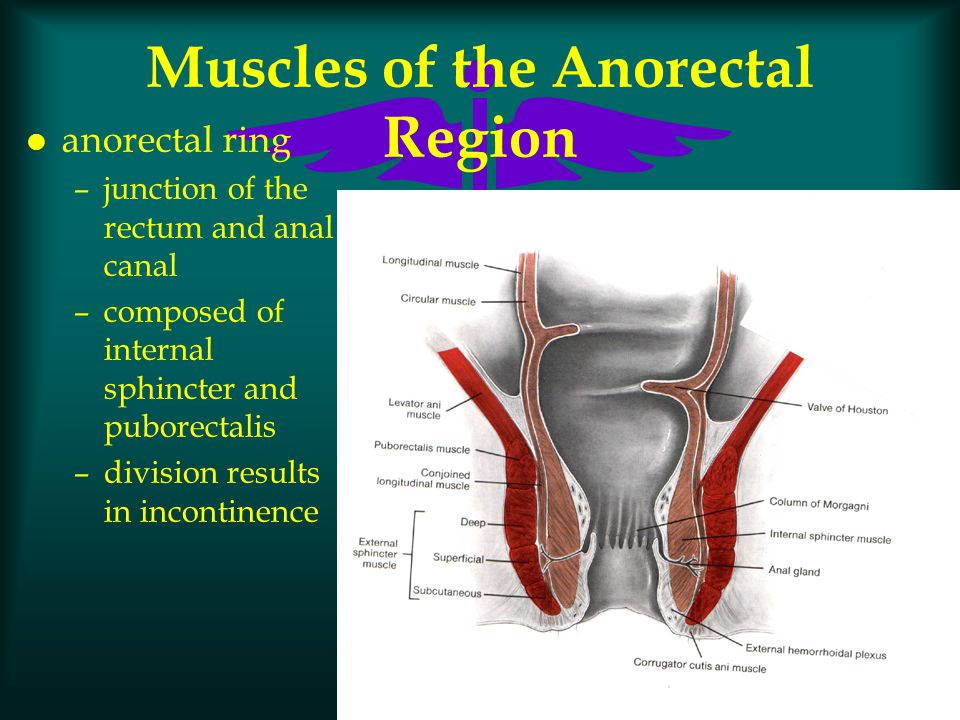 Rectum, ischioanal fossa and anal canal flashcards