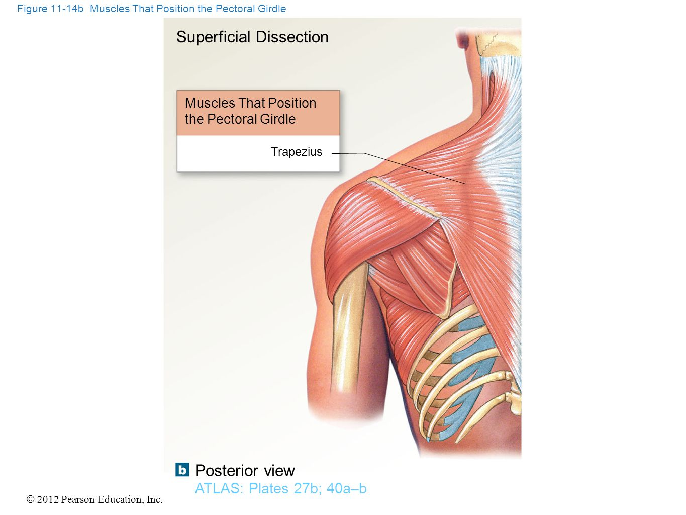 Figure 11-14b Muscles That Position the Pectoral Girdle