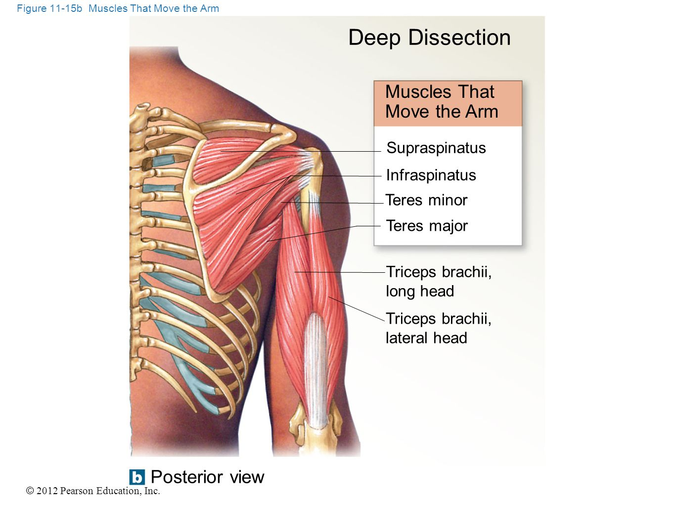 Figure 11-15b Muscles That Move the Arm