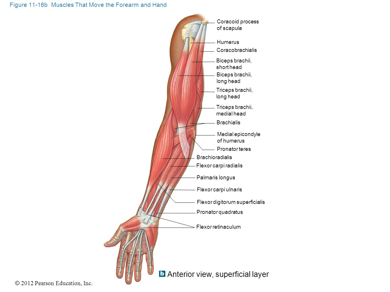 Figure 11-16b Muscles That Move the Forearm and Hand