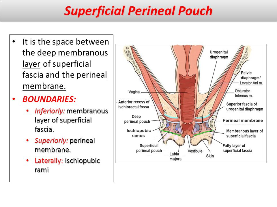 Superficial Perineal Pouch