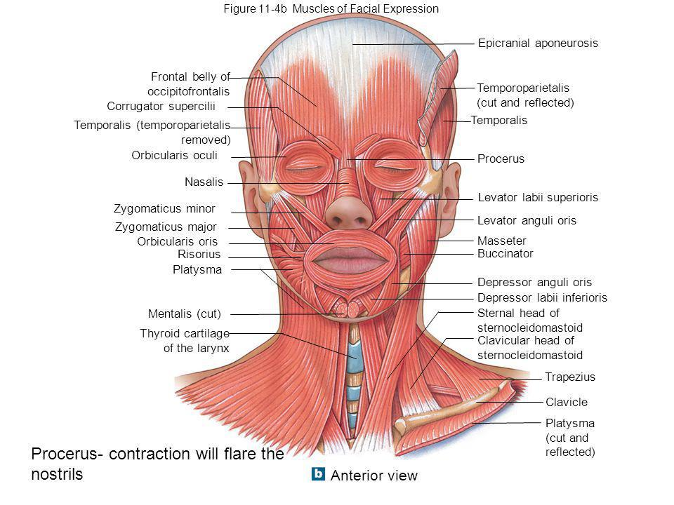 Part I: Muscles of the Head and Neck Part II: Muscles of the Trunk ...
