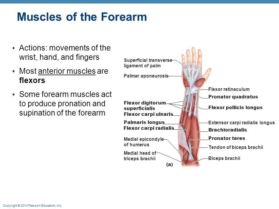 Muscles of the Forearm Actions: movements of the wrist, hand, and fingers. Most anterior muscles are flexors.