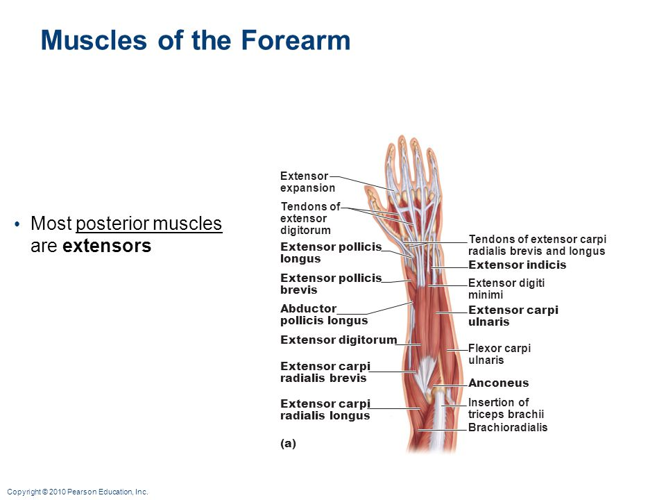 Muscles of the Forearm Most posterior muscles are extensors Extensor
