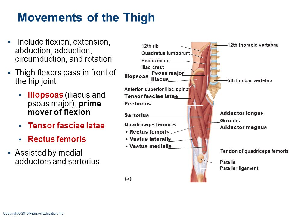 Movements of the Thigh Include flexion, extension, abduction, adduction, circumduction, and rotation.