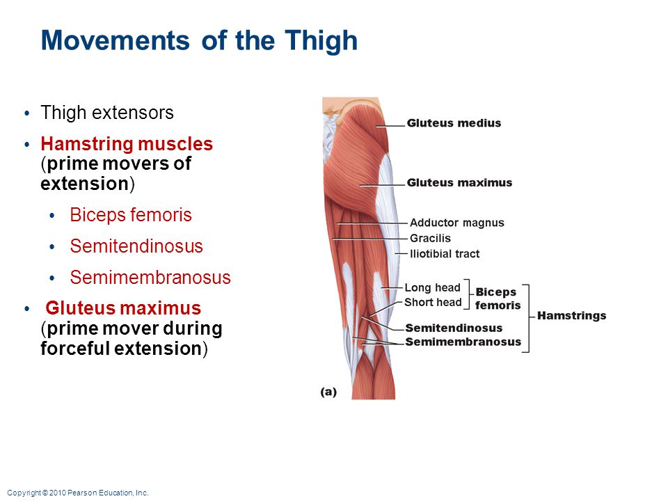 Movements of the Thigh Thigh extensors