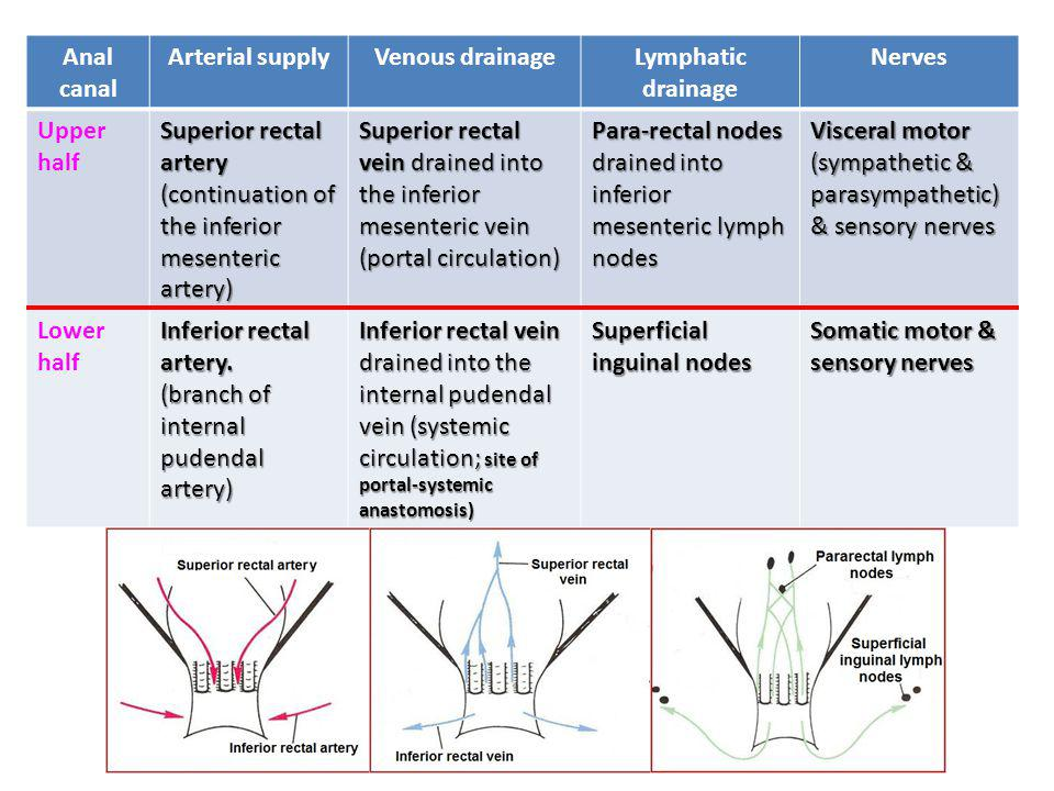 Anal canal Arterial supply. Venous drainage. Lymphatic drainage. Nerves. Upper half.