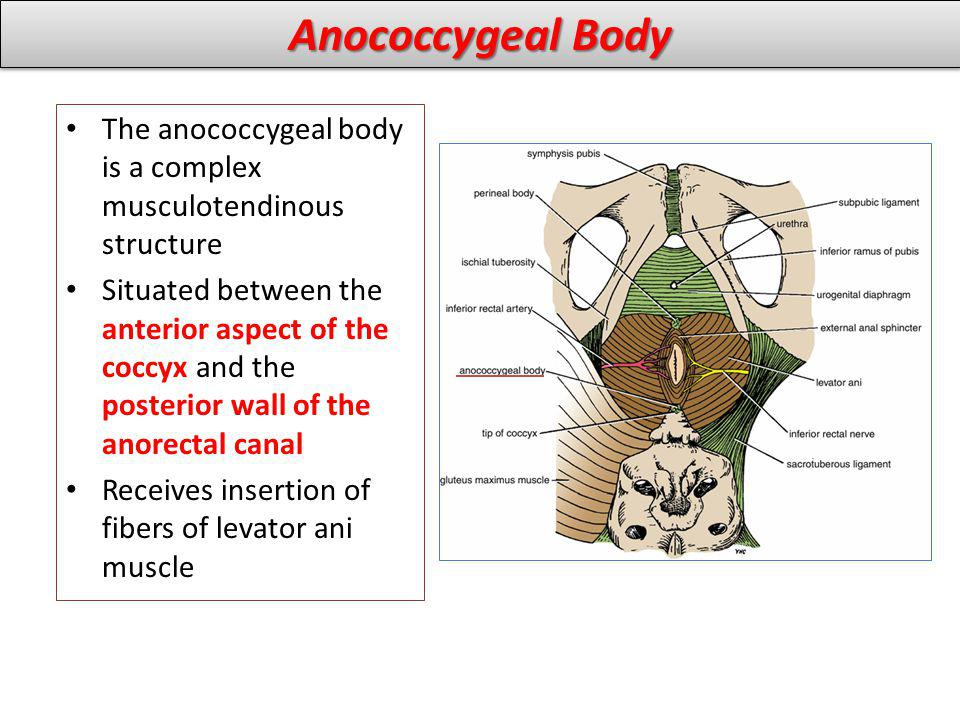 Anococcygeal Body The anococcygeal body is a complex musculotendinous structure.
