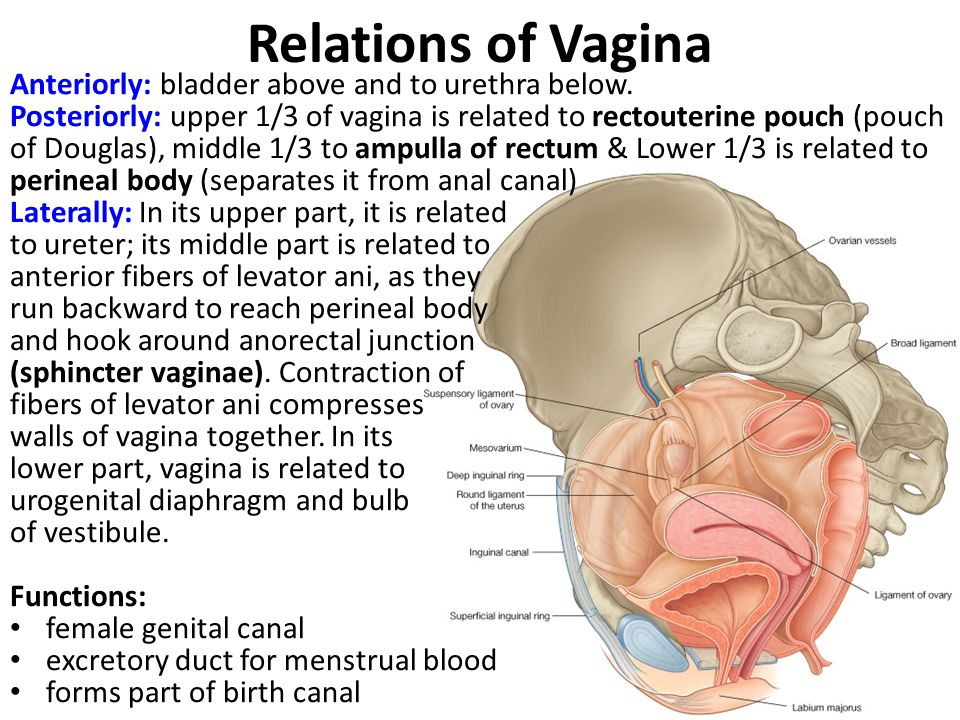 Relations of Vagina Anteriorly: bladder above and to urethra below.