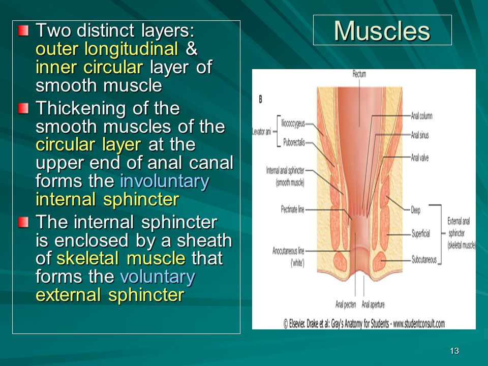 Muscles Two distinct layers: outer longitudinal & inner circular layer of smooth muscle.