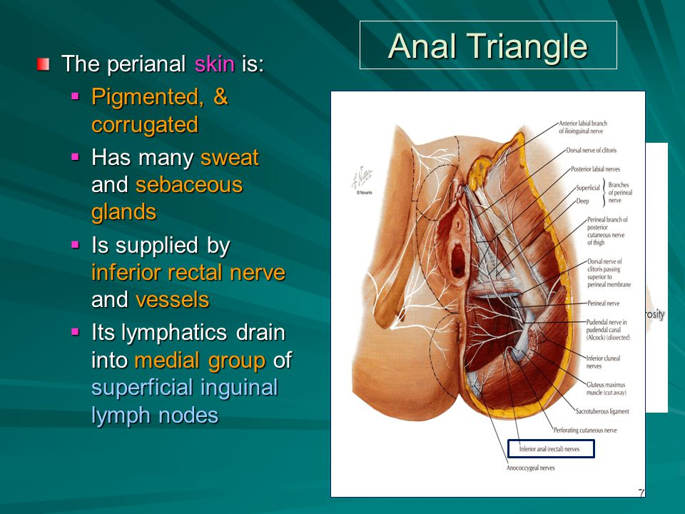 Anal Triangle The perianal skin is: Pigmented, & corrugated