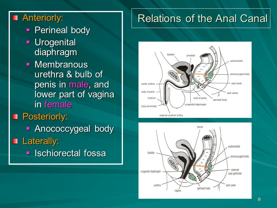 Relations of the Anal Canal