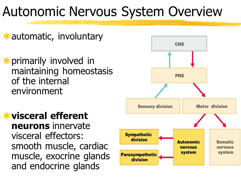 Chapter 14 The Autonomic Nervous System - ppt video online download