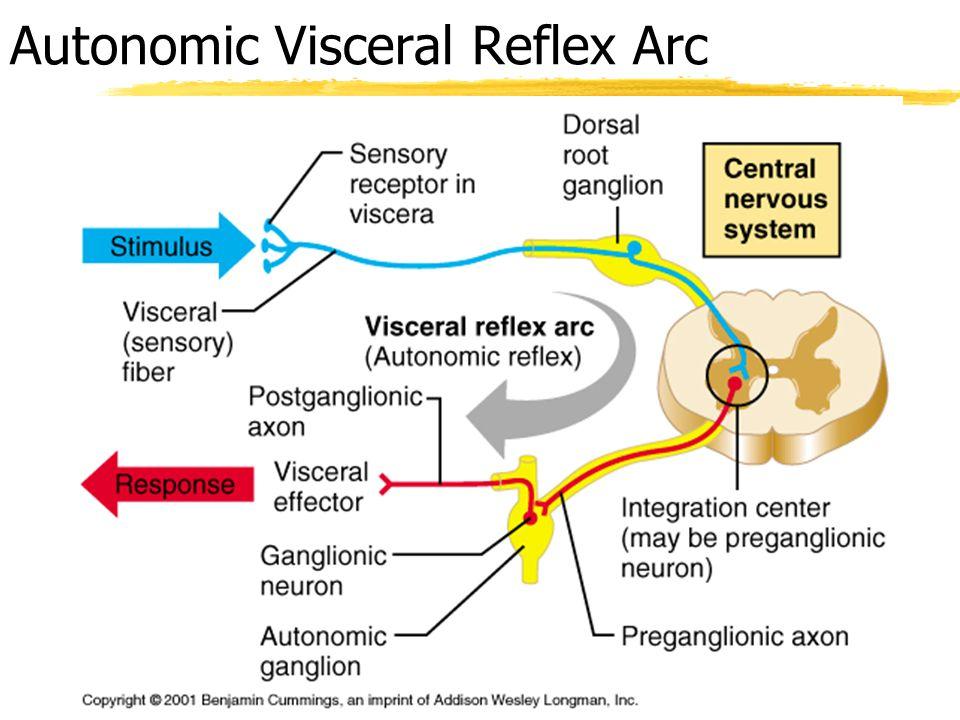 Chapter 14 the autonomic nervous system ppt video online download 6 autonomic visceral reflex arc ccuart Gallery