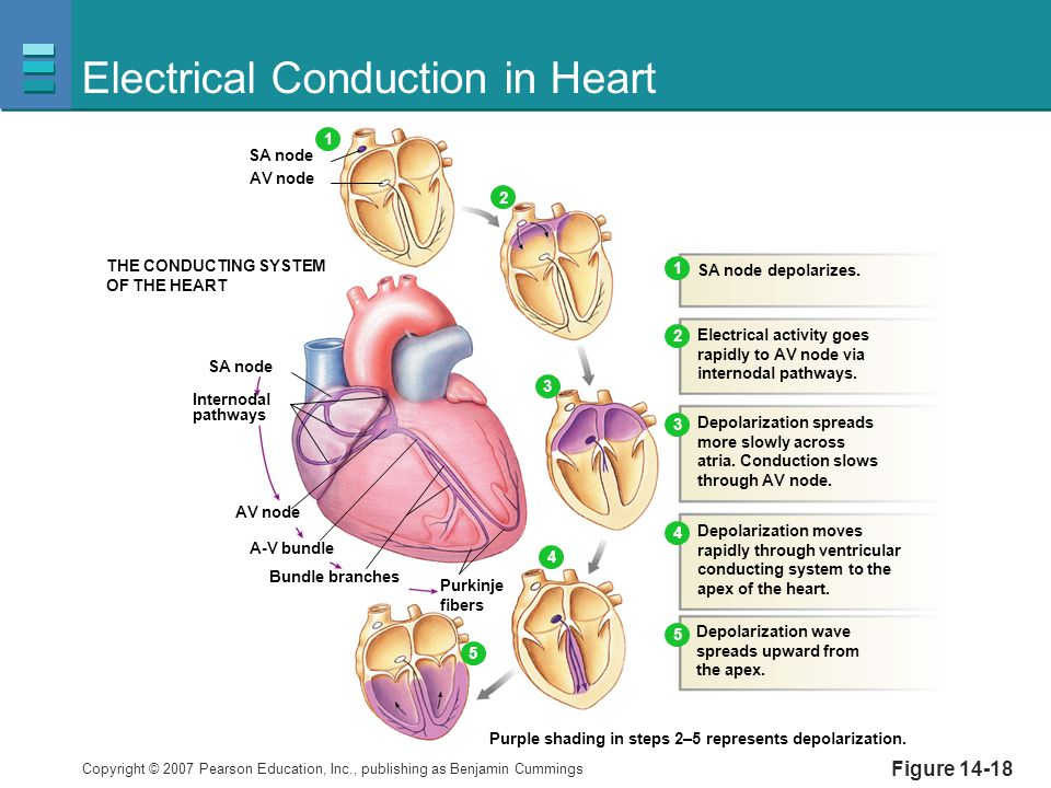 Electrical Conduction System Of The Heart Steps Great Installation