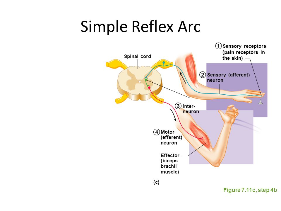three spinal cord mediated reflexes