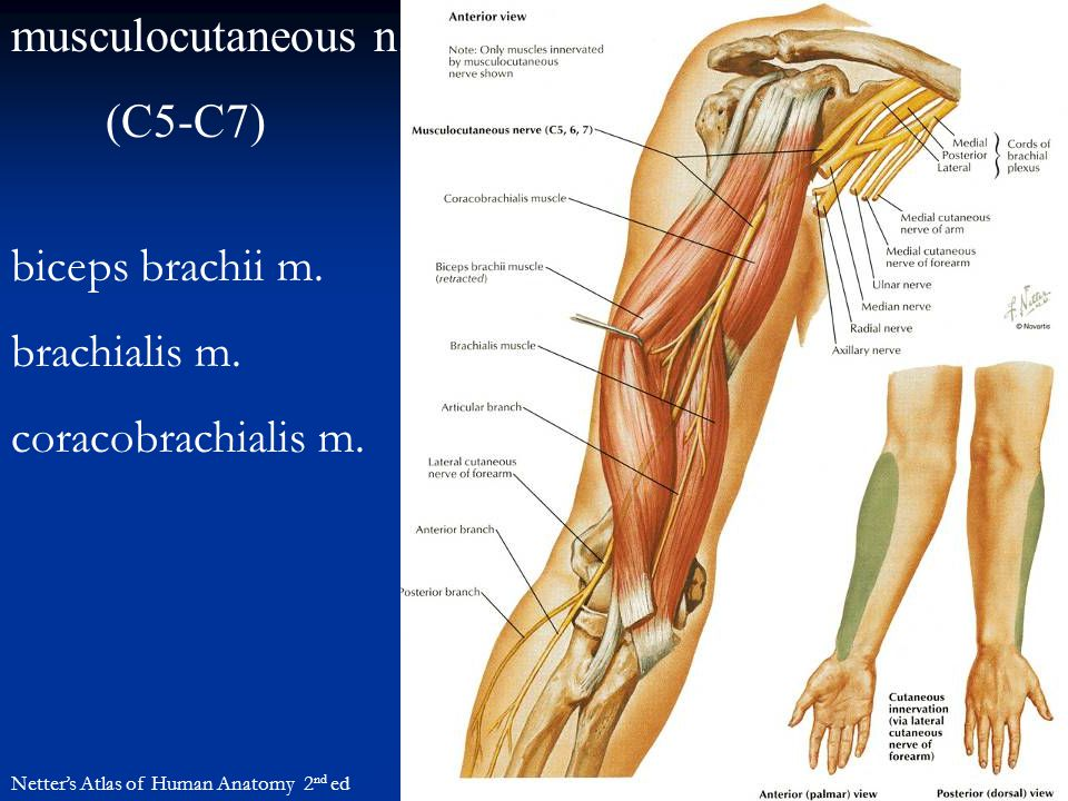 Organization of the Upper Limb - ppt video online download