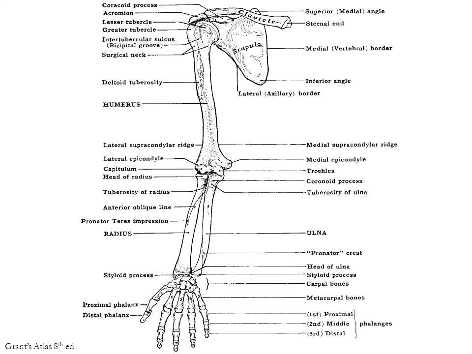 Famoso Upper Limb Skeletal Anatomy Imágenes - Imágenes de Anatomía ...
