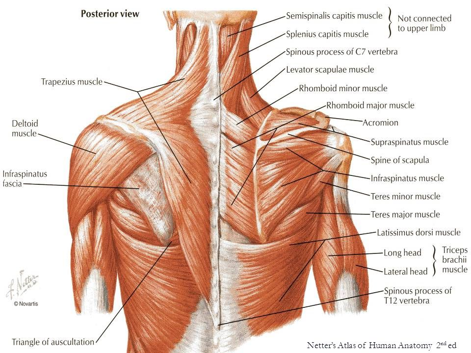 Fantastic Netter Atlas Of Human Anatomy Festooning - Internal organs ...
