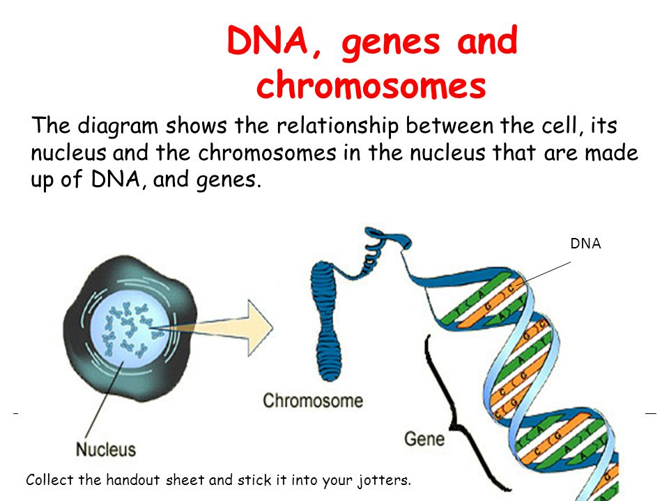 Unit one cell biology ppt download 89 dna genes and chromosomes the diagram shows the relationship between the cell ccuart Image collections