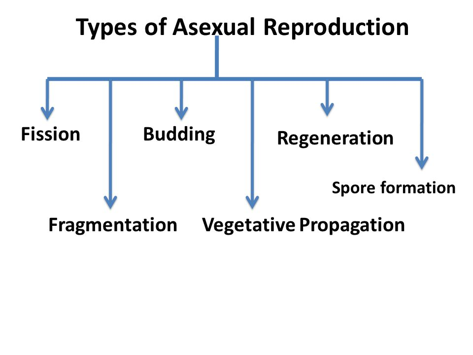 Formation spores asexual reproduction fission