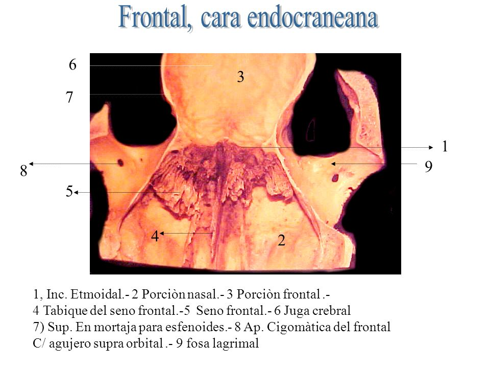 Frontal, cara endocraneana