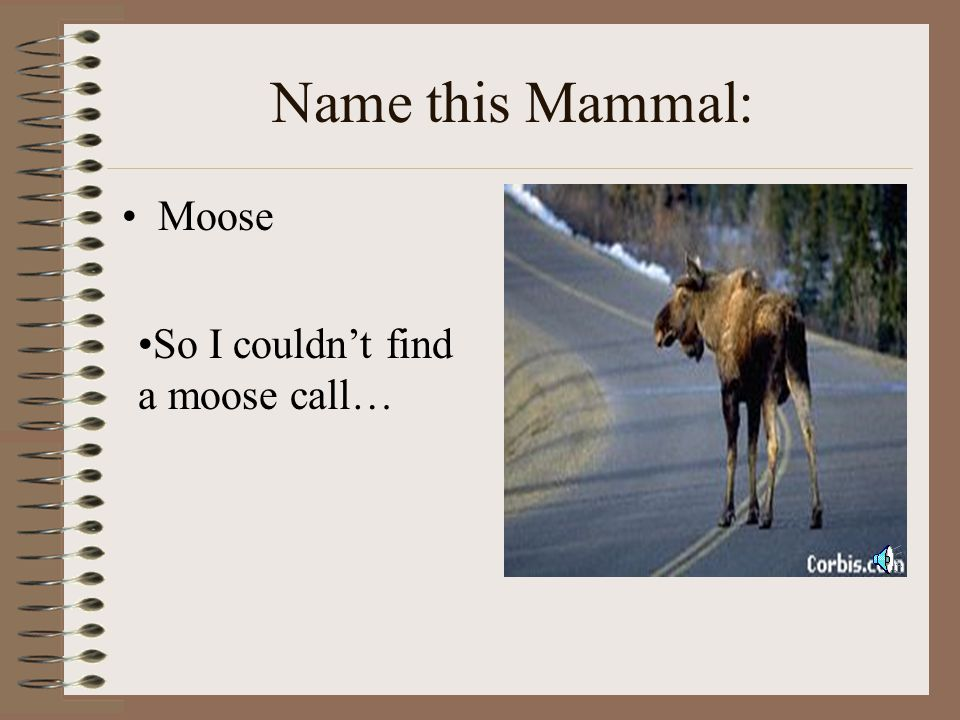 Name this Mammal: Moose So I couldn't find a moose call…