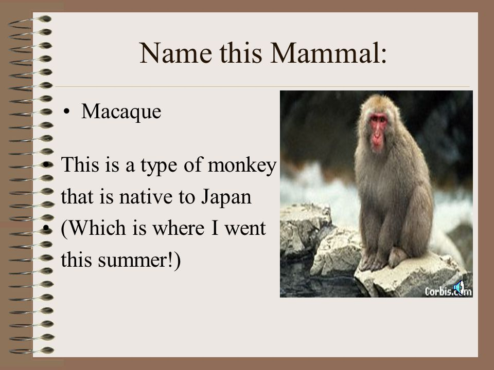 Name this Mammal: Macaque This is a type of monkey