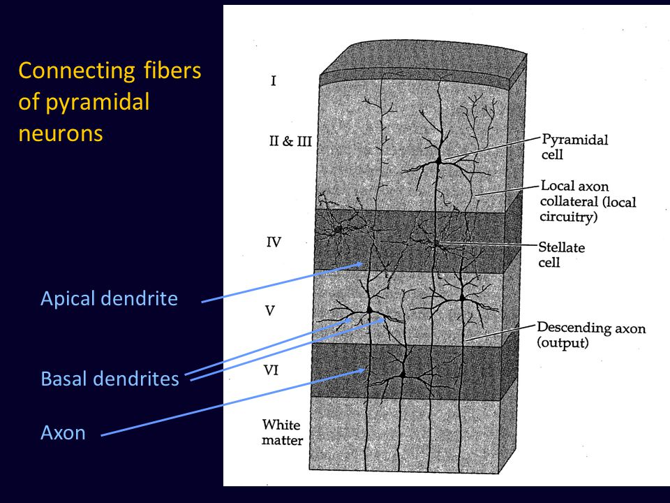 Connecting fibers of pyramidal neurons