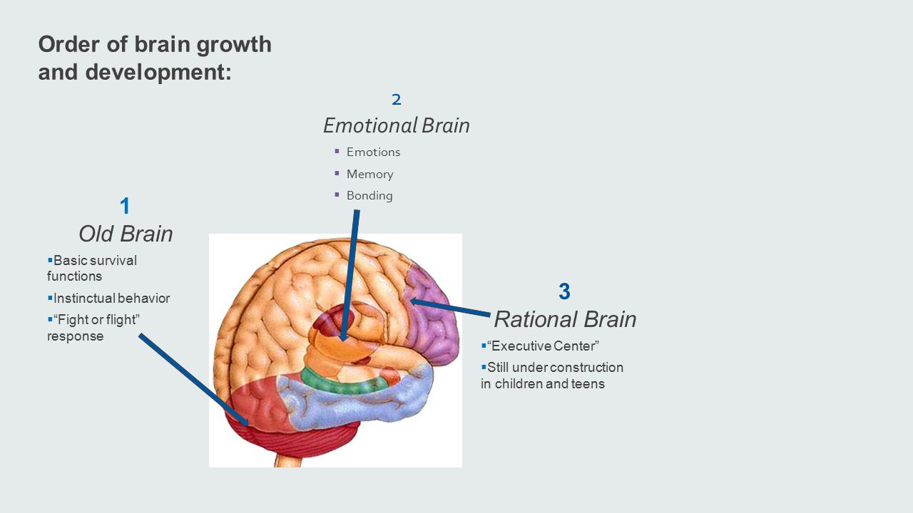Order of brain growth and development: