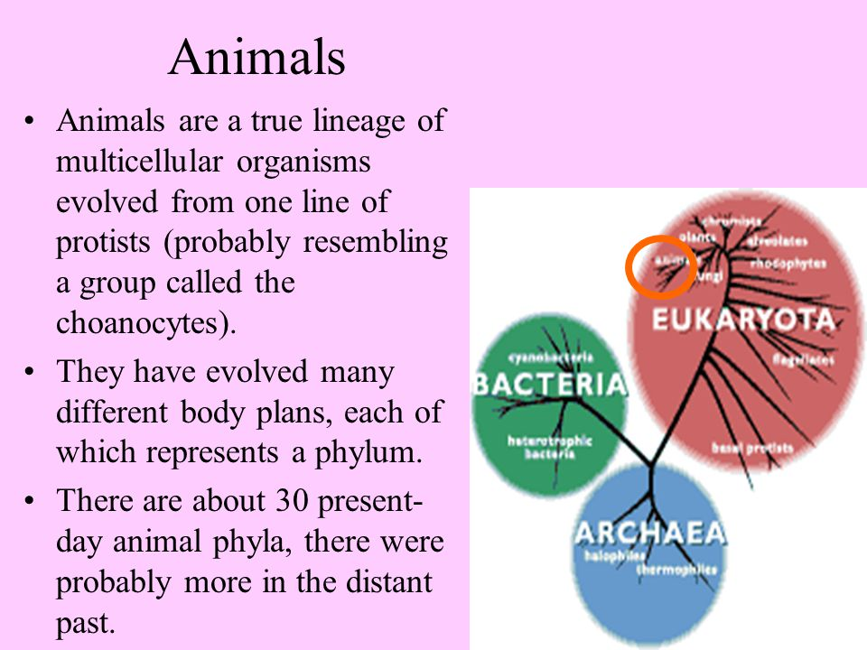 Animals Animals are a true lineage of multicellular organisms evolved from one line of protists (probably resembling a group called the choanocytes).