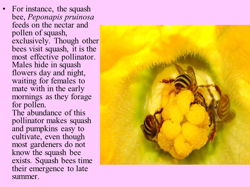 For instance, the squash bee, Peponapis pruinosa feeds on the nectar and pollen of squash, exclusively.