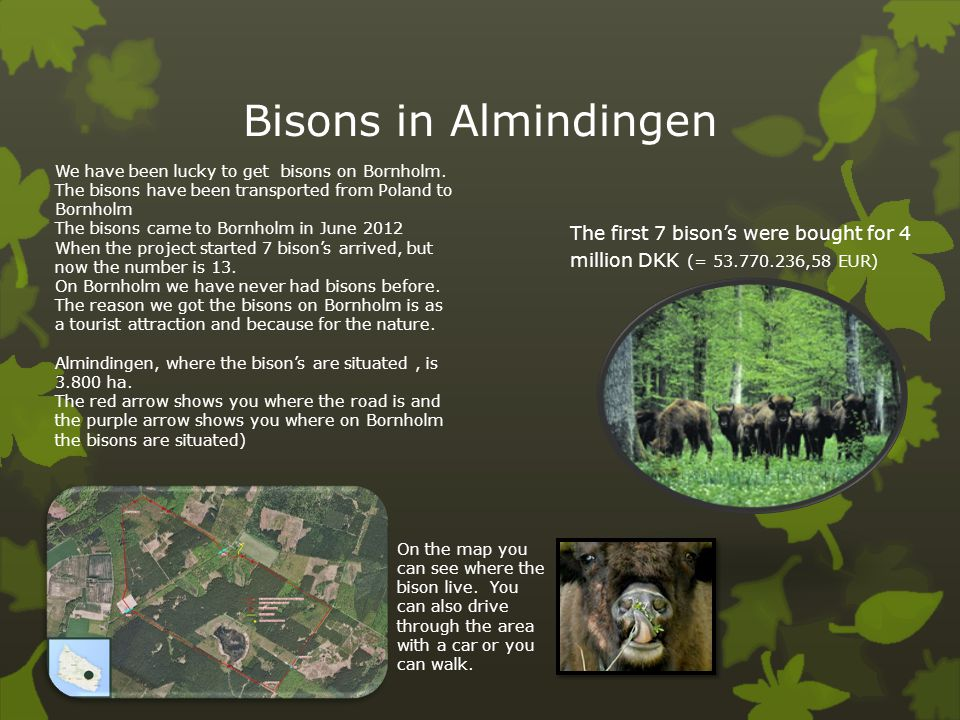 Bisons in Almindingen We have been lucky to get bisons on Bornholm. The bisons have been transported from Poland to Bornholm.