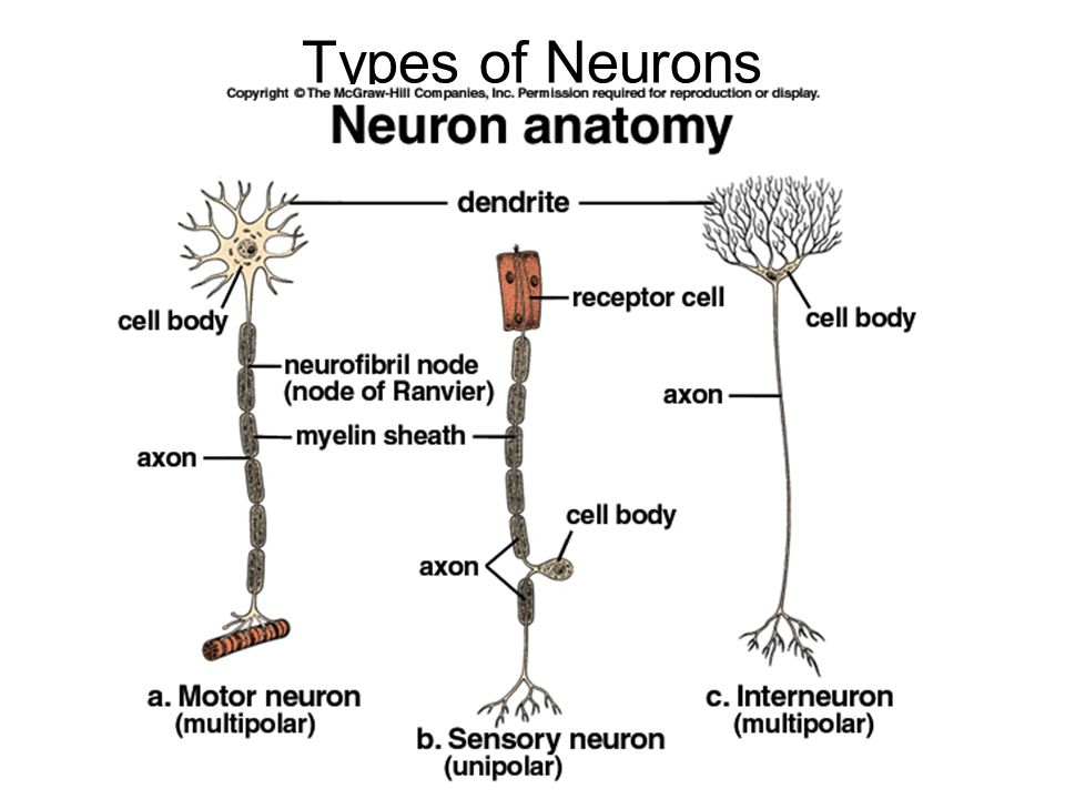 Neuron nervous system ppt video online download 24 types of neurons ccuart Gallery