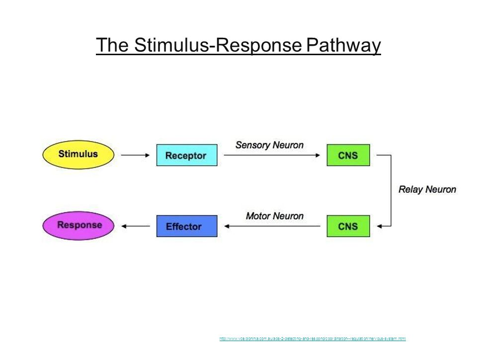 Neuron nervous system ppt video online download 3 the stimulus response pathway ccuart Gallery