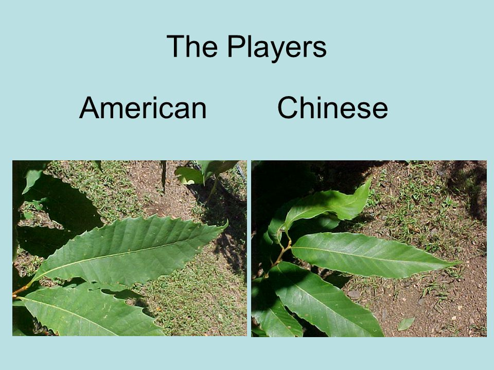 The Players American Chinese